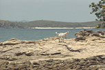 Feral Goats on island